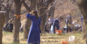 FLDS barnarbete picking_pecans_CNN